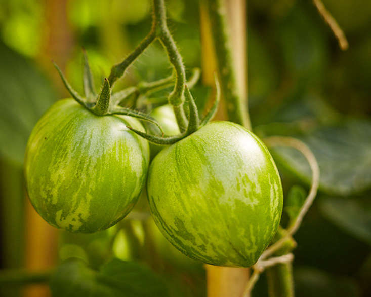 Green zebra tomatoes in Gardenista editor Michelle Slatalla&#8\2\17;s garden. If you want to start them from seed, a packet of 30 Green Zebra Organic Tomato Seeds is \$5.\19 from Burpee. Photograph by John Merkl.