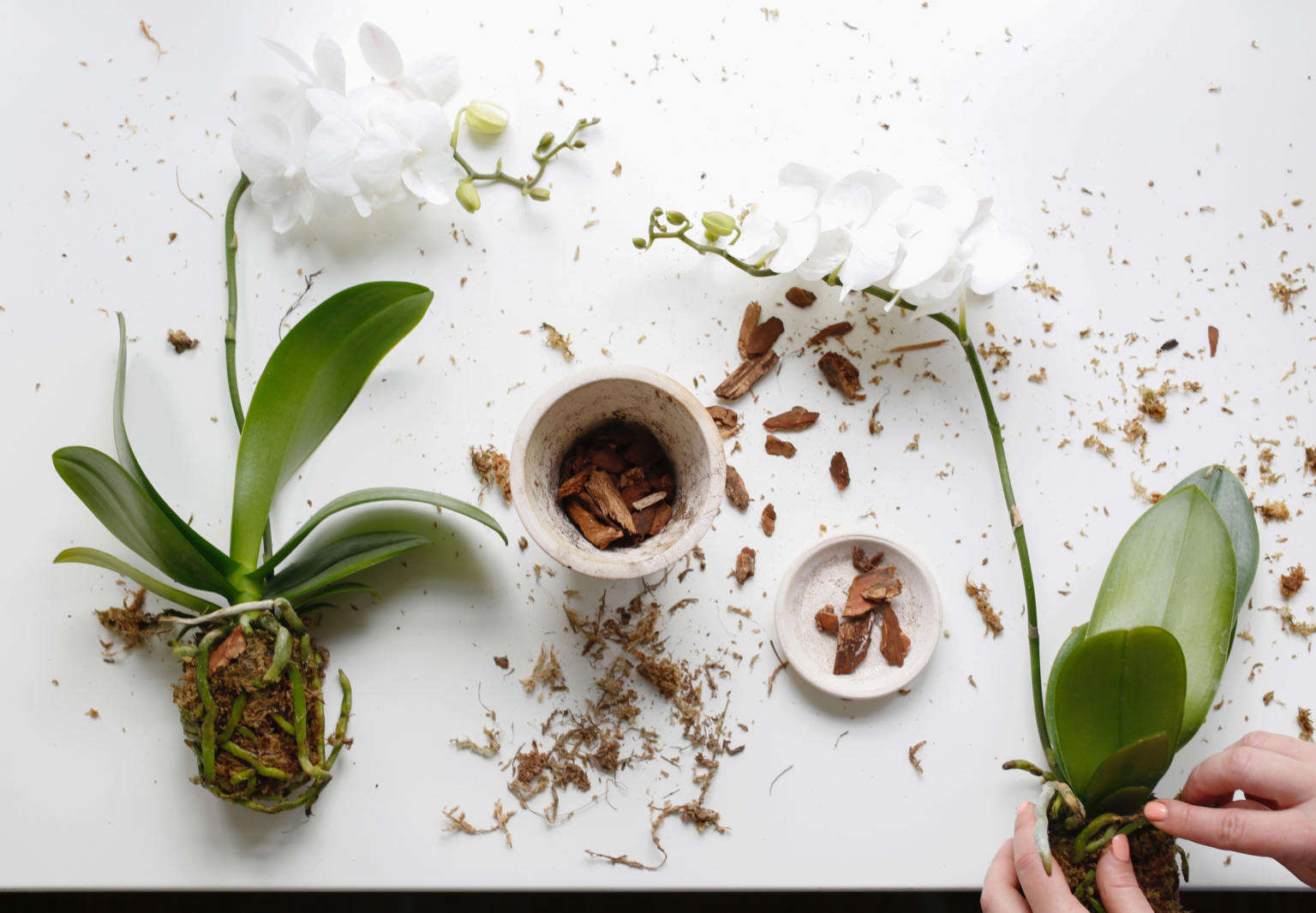 How To Repot An Orchid Step By Step Without Killing It