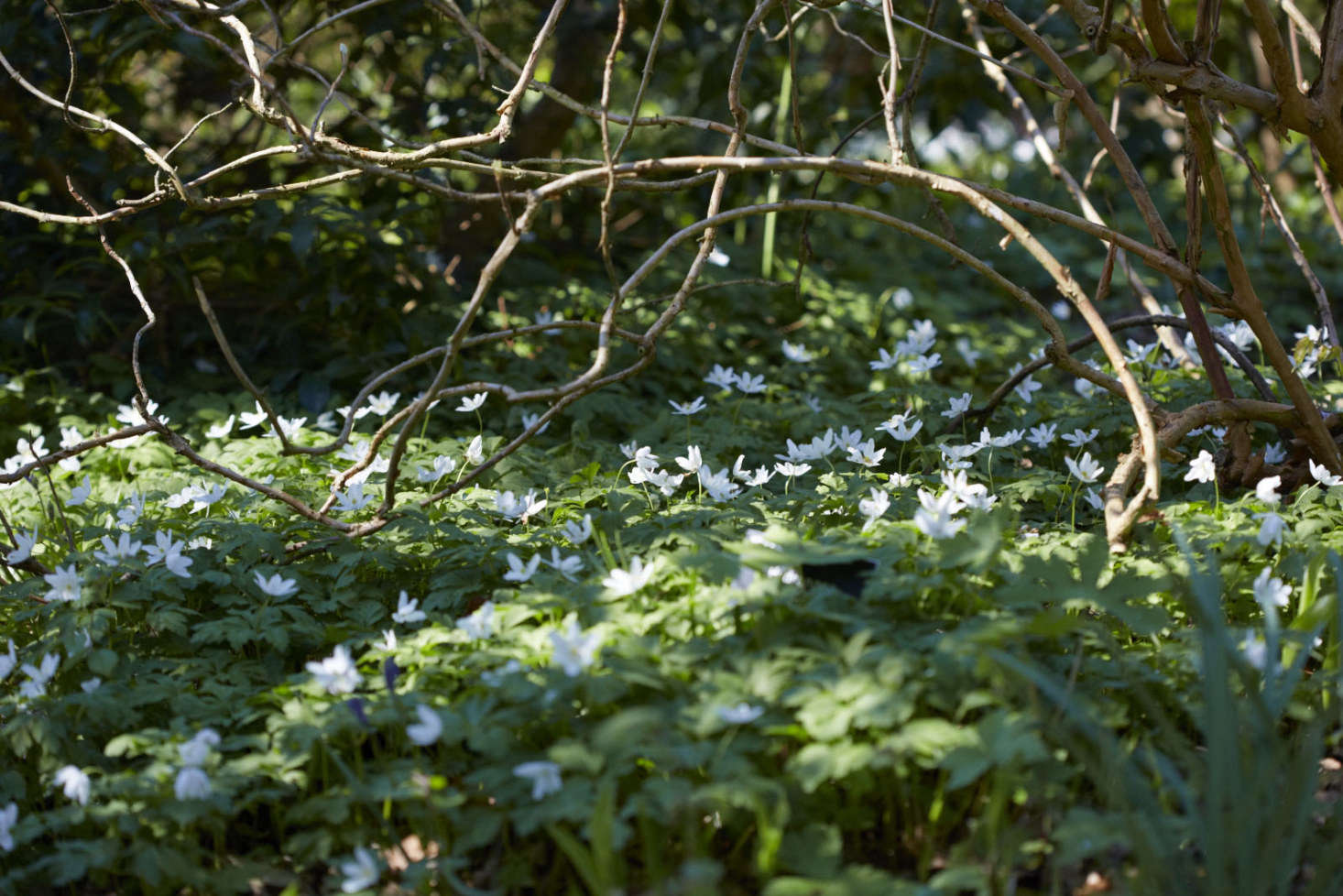 Anemone nemorosa in a wooded glade.