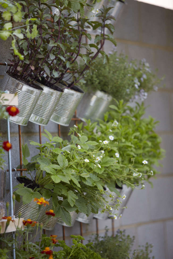Cans of wild strawberries, parsley, and mint (Mentha spicata).