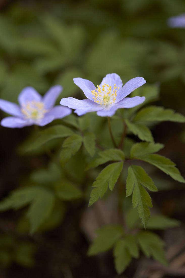 A superior windflower, Anemone nemorosa &#8\2\16;Robinsoniana&#8\2\17;.