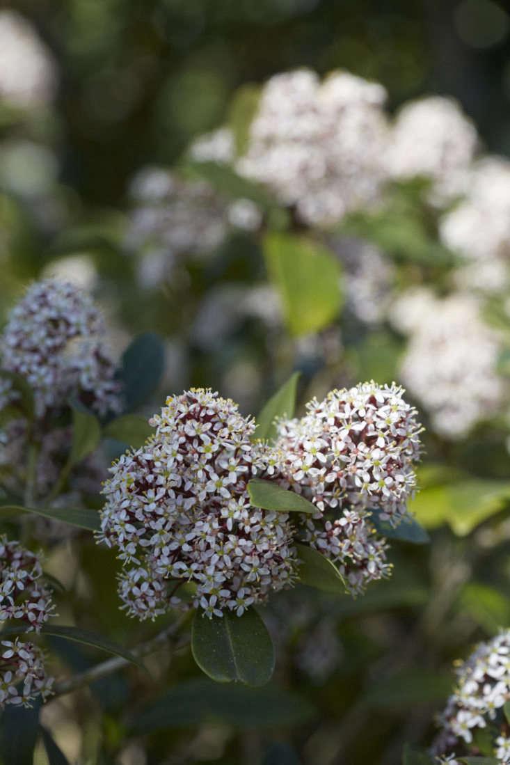 Skimmia japonica &#8