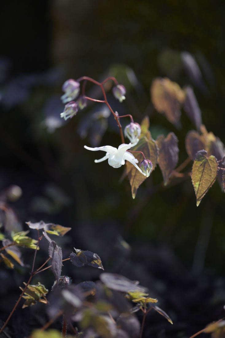 Columbine-like flowers ofEpimedium grandiflorum.