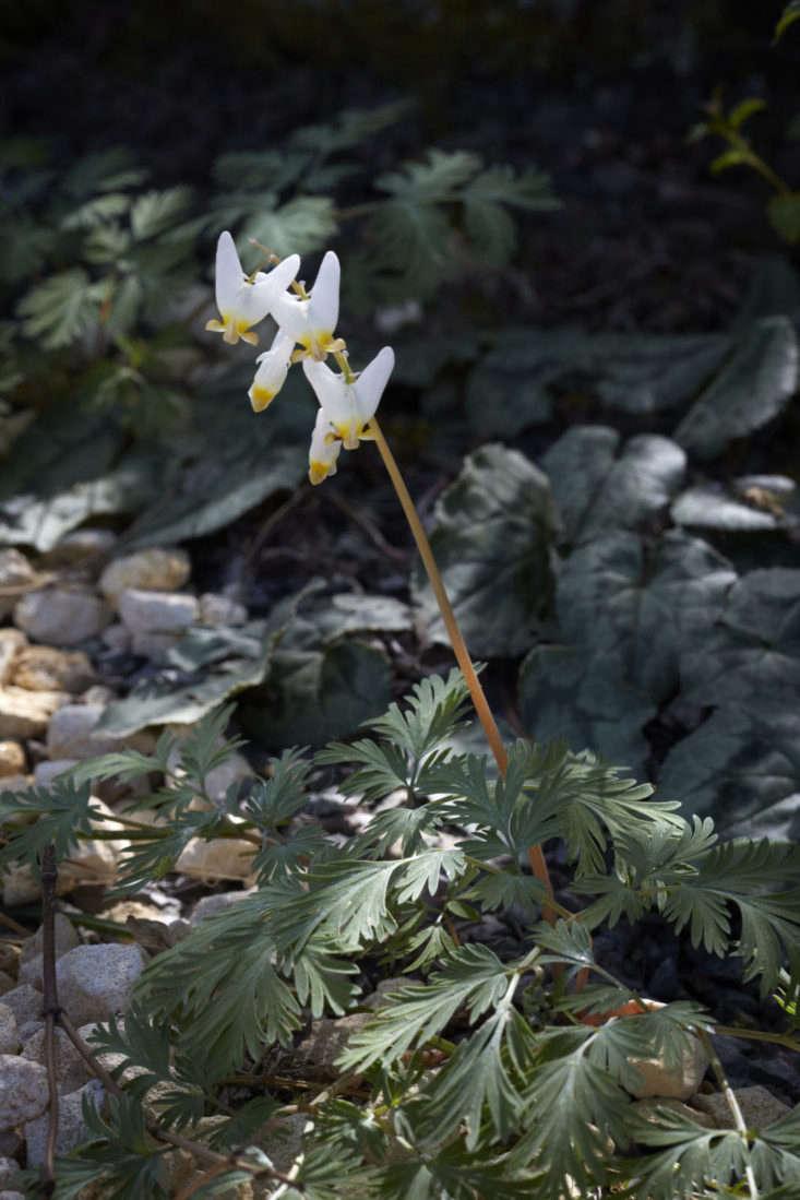 Dicentra cucullaria, the original &#8