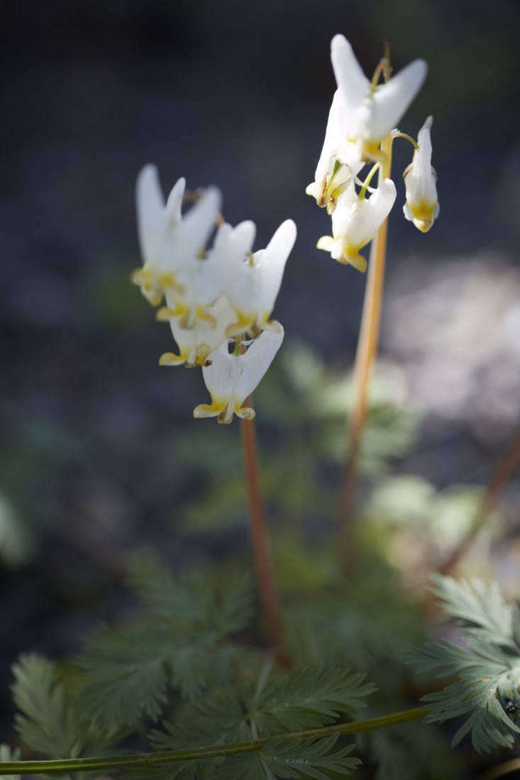 Dicentra cucullaria, of the American northeast.
