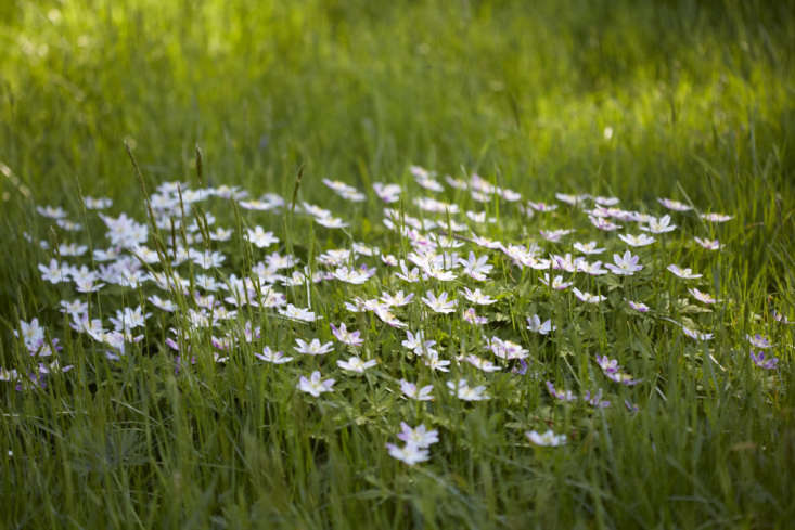 Anemone nemorosa spreading into a hospitable patch of semi-shaded grass.