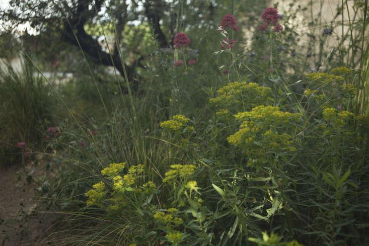 Euphorbia andCentranthus ruber in James Basson&#8\2\17;s Mediterranean-inspired garden from \20\17.
