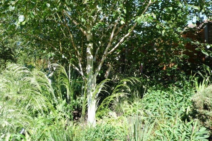 Deschampsia grasses beneath a birch tree.