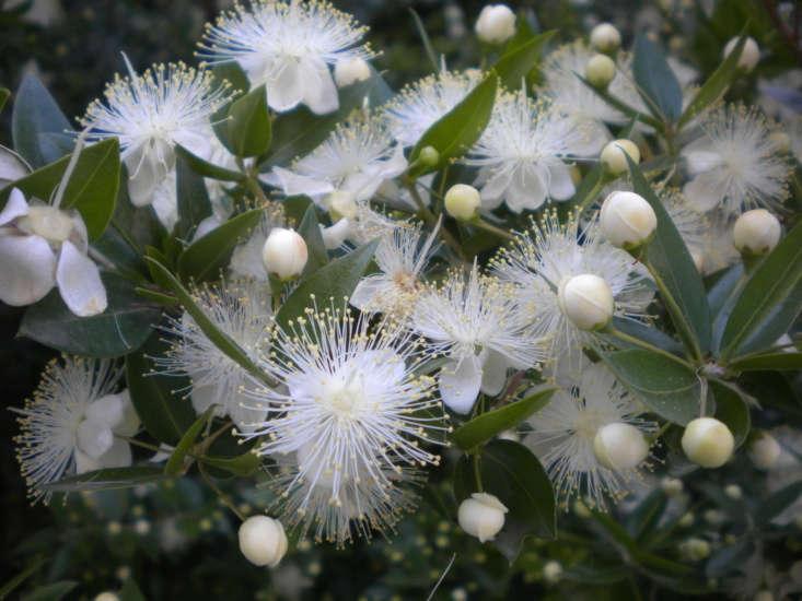 Myrtus communis. Photograph by Candiru via Flickr.
