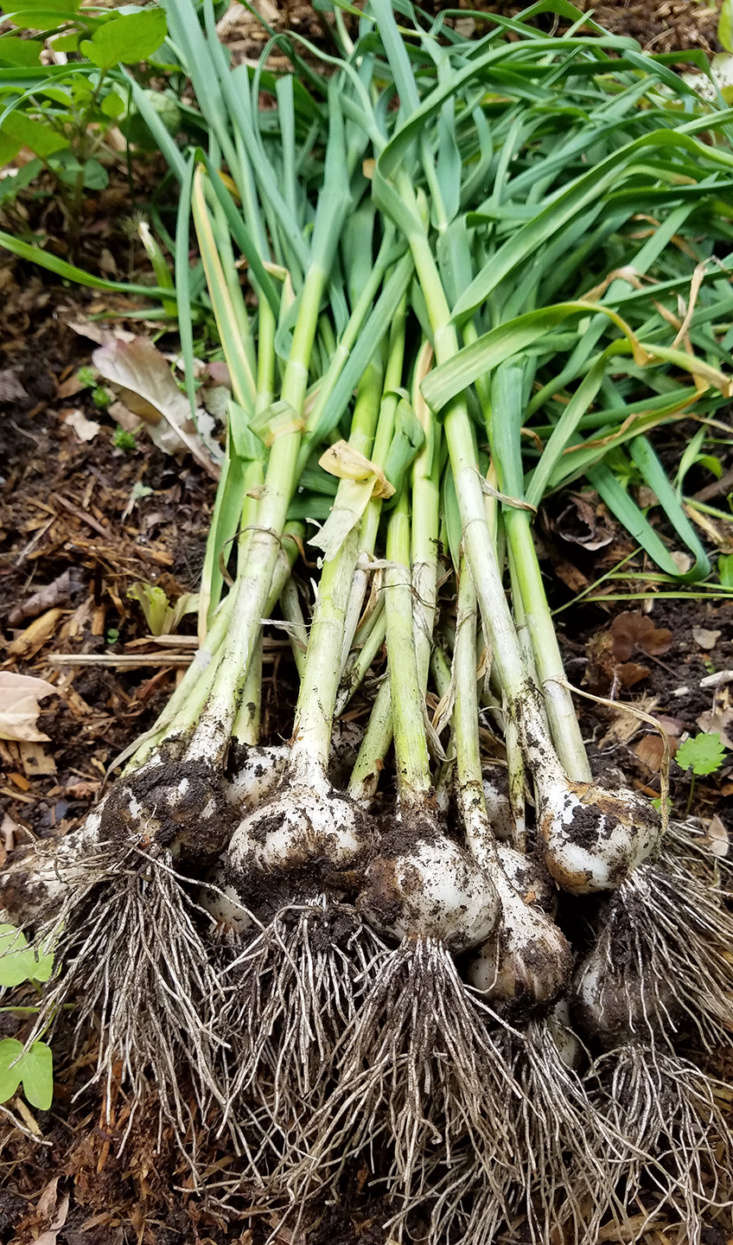 Wait another few weeks until the bottom third of the garlic plants&#8