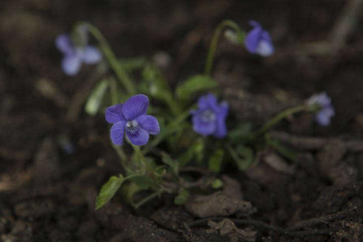 On the plant list for Chelsea, sweet violet, Viola odorata.