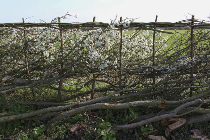 A laid hedge of hawthorn in bloom in Northamptonshire.
