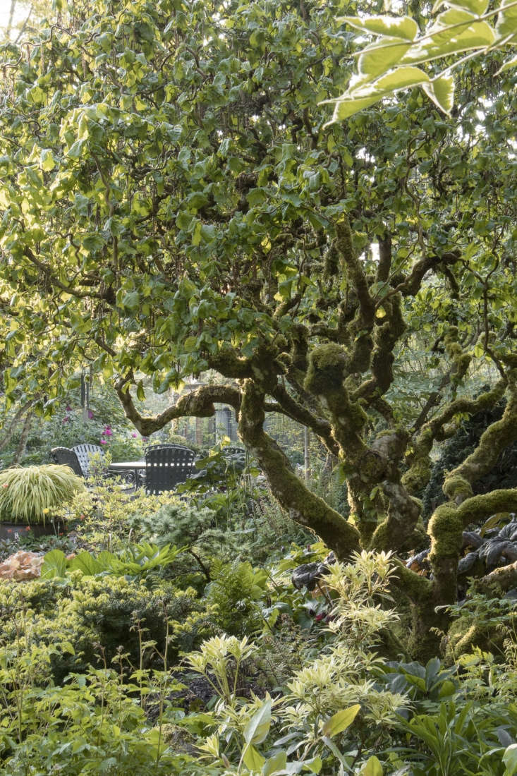 A view of the patio, past an attractively contorted filbert tree in the shade garden.