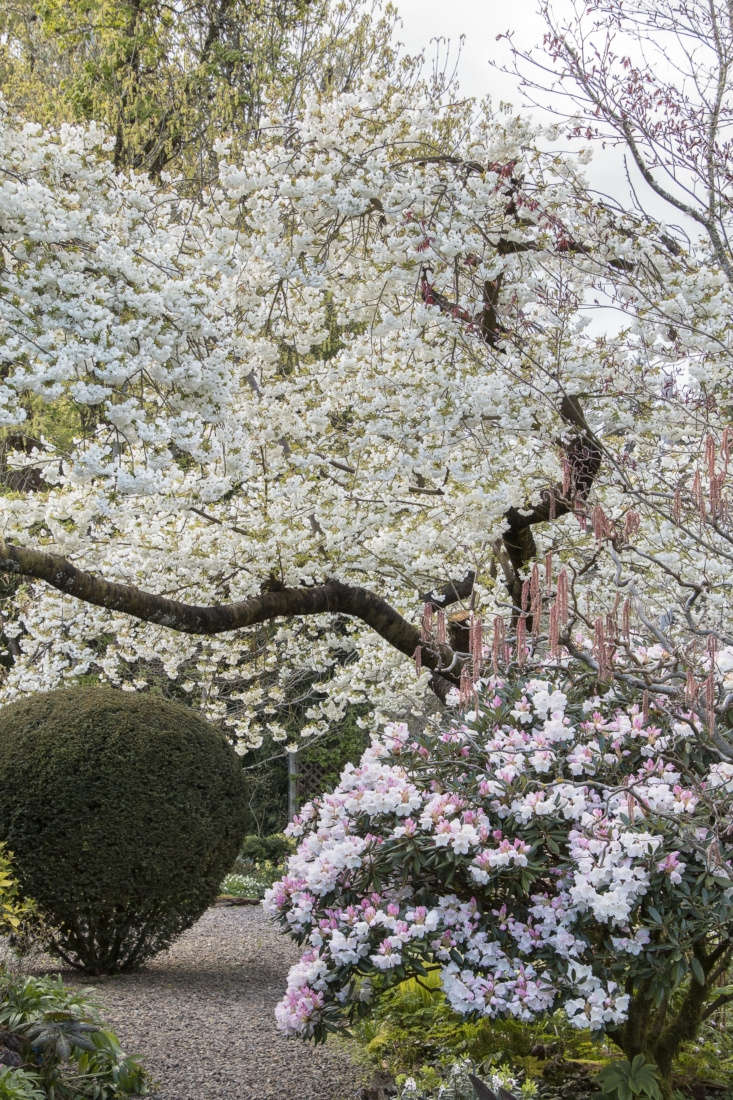 Spring blooms of Mount Fuji cherry (Prunus &#8\2\16;Shirotae&#8\2\17;) and Rhododendron pseudochrysanthum.