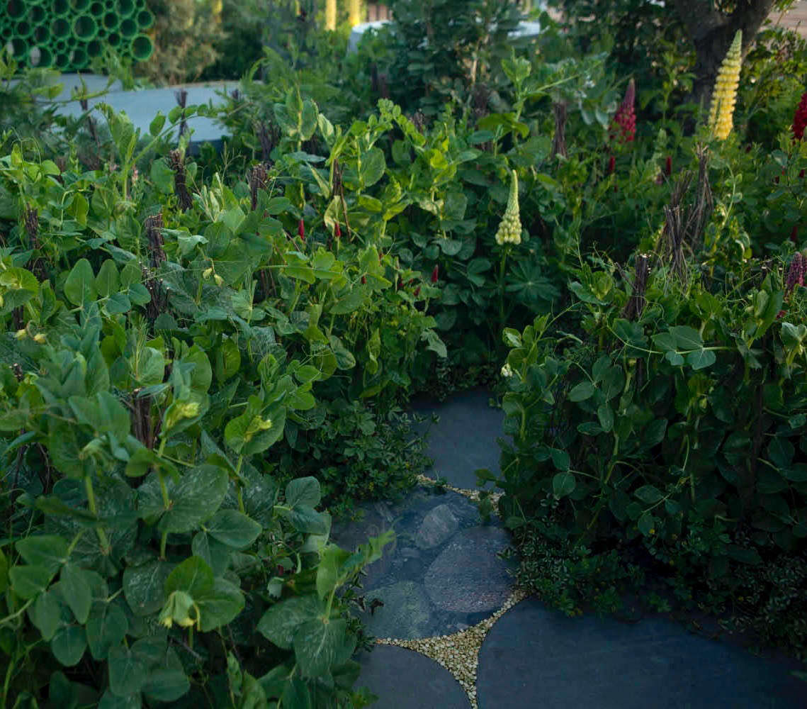Peas everywhere, including dried split peas between the pavers.