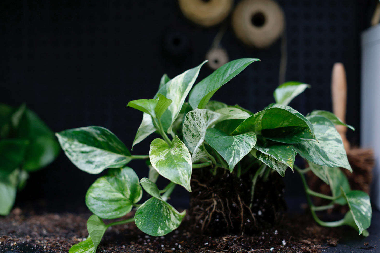Variegation is a mutation that can be genetic or random (if only a few variegated leaves appear on an otherwise green plant, it may revert over time to a plant that has solid green foliage).