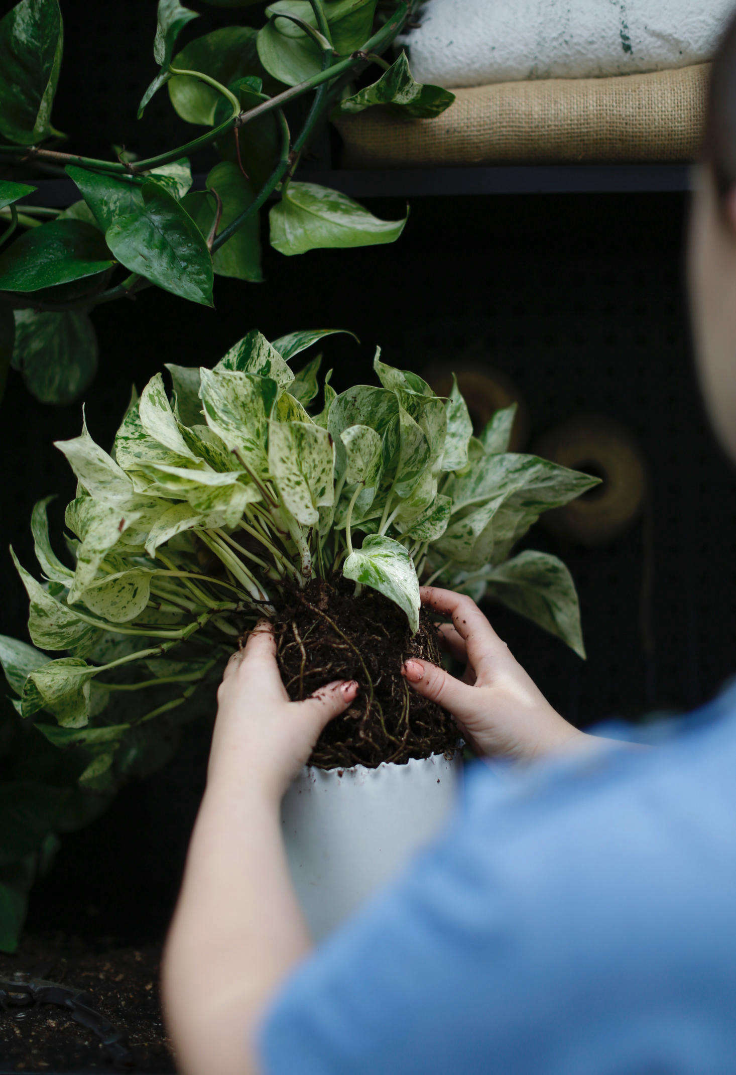 To propagate a new pothos from your existing plant, start with a six-inch piece of stem that has several leaves.