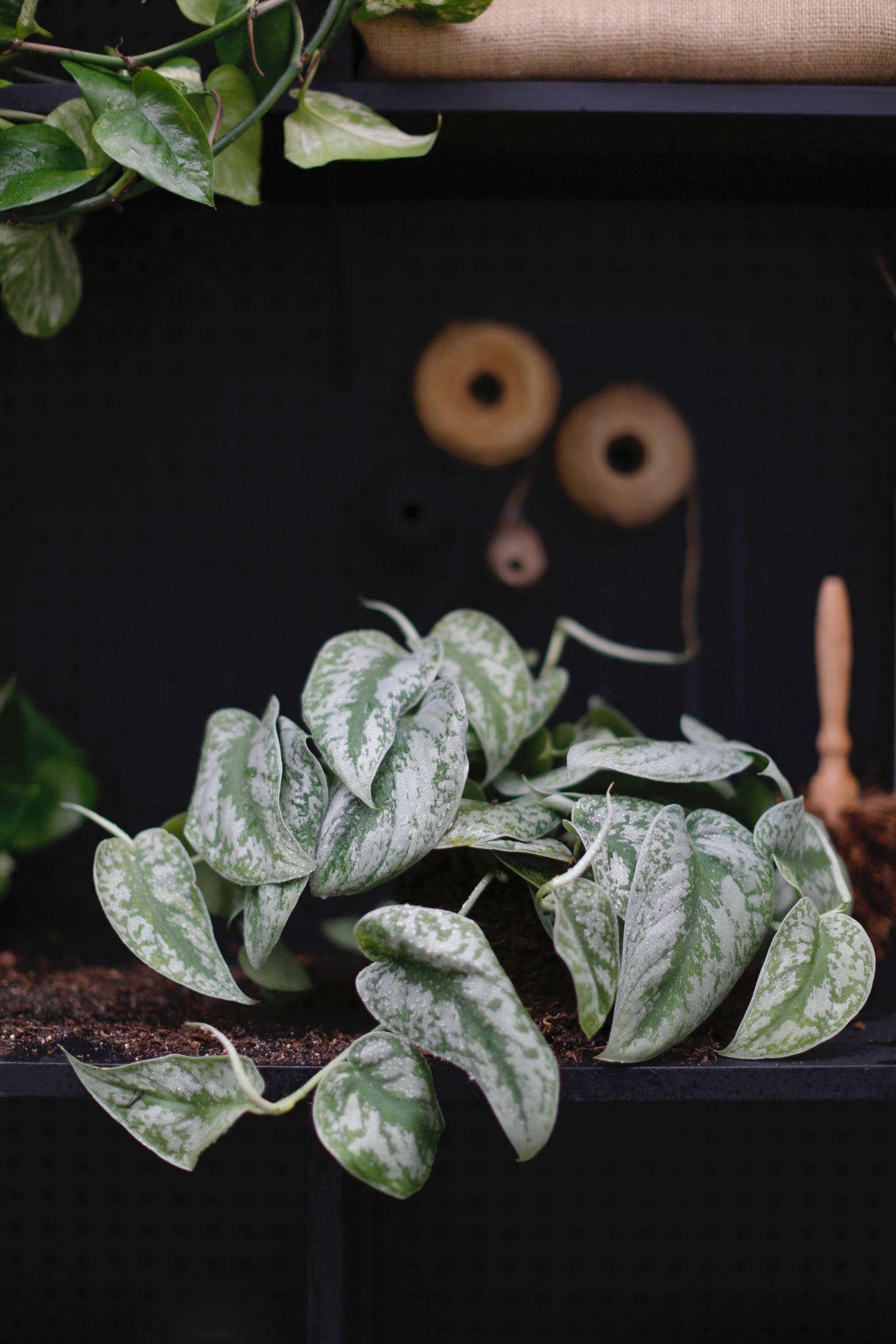 Satin pothos (Scindapsus pictus&#8