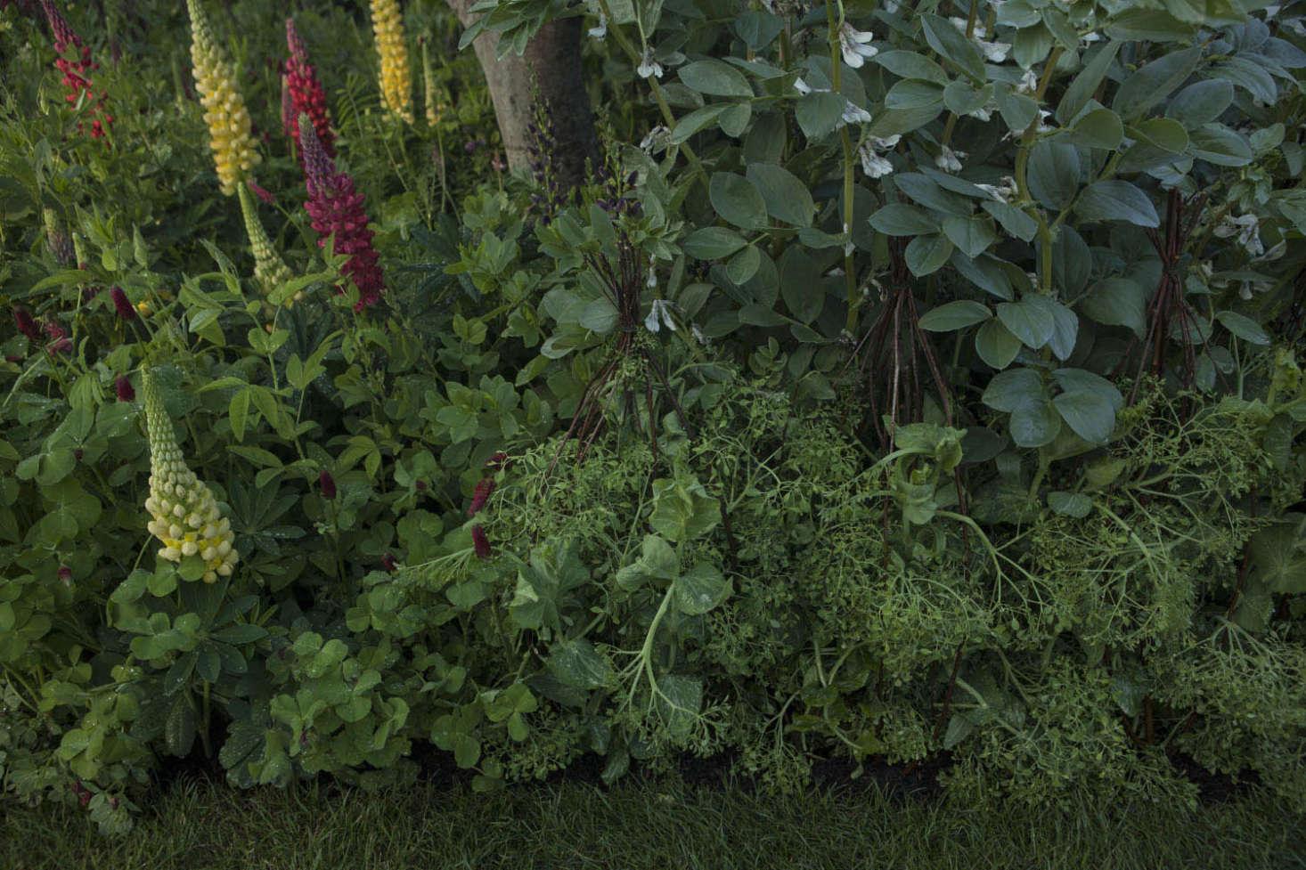 Varieties of lupine include Baptisia &#8