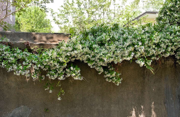 Star jasmine vines cover a wall in another southern city, Charleston, South Carolina. Photograph by Liz West via Flickr.