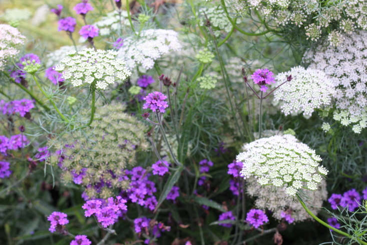 Queen Anne&#8\2\17;s lace and purple verbena mingle in the cutting garden.