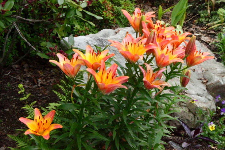 Asiatic lilies blooming in a garden in Tennessee. Photograph by A. Yee via Flickr.