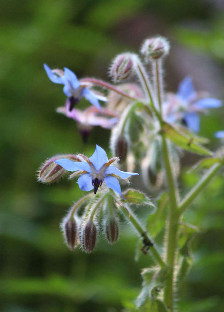 The clear blue of borage&#8\2\17;s sputnik-blooms sings cucumber. Drop the flowers into ice cube trays and freeze to chill a jugful of Pimm&#8\2\17;s Cup. Or add a handful of the summer flowers to crushed chunks of cucumber dressed with slivered mint, salt and sugar.