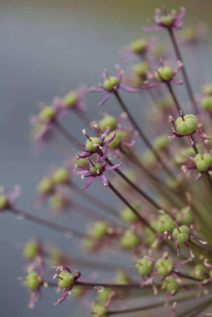 Allium hollandicum &#8