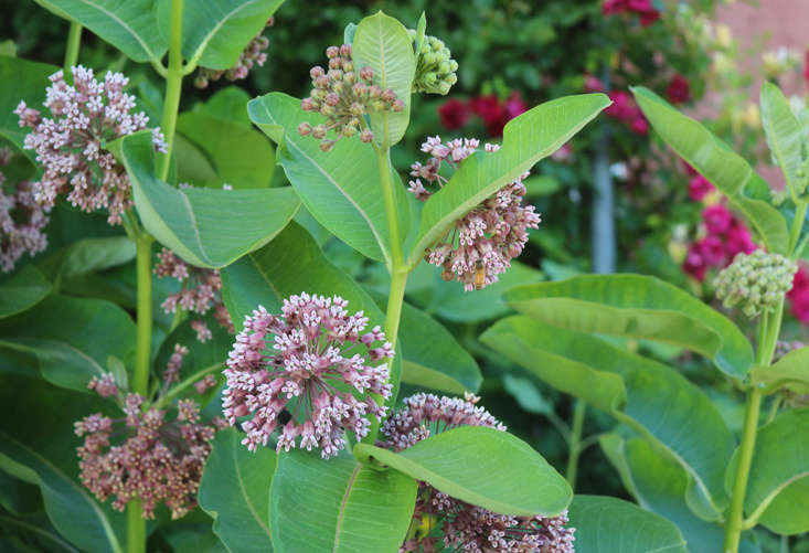 A North American native perennial, milkweed is one of the most fragrant flowers of early summer. Adding common milkweed to your meadow garden will give monarch butterflies a boost (their larvae feed on its leaves).