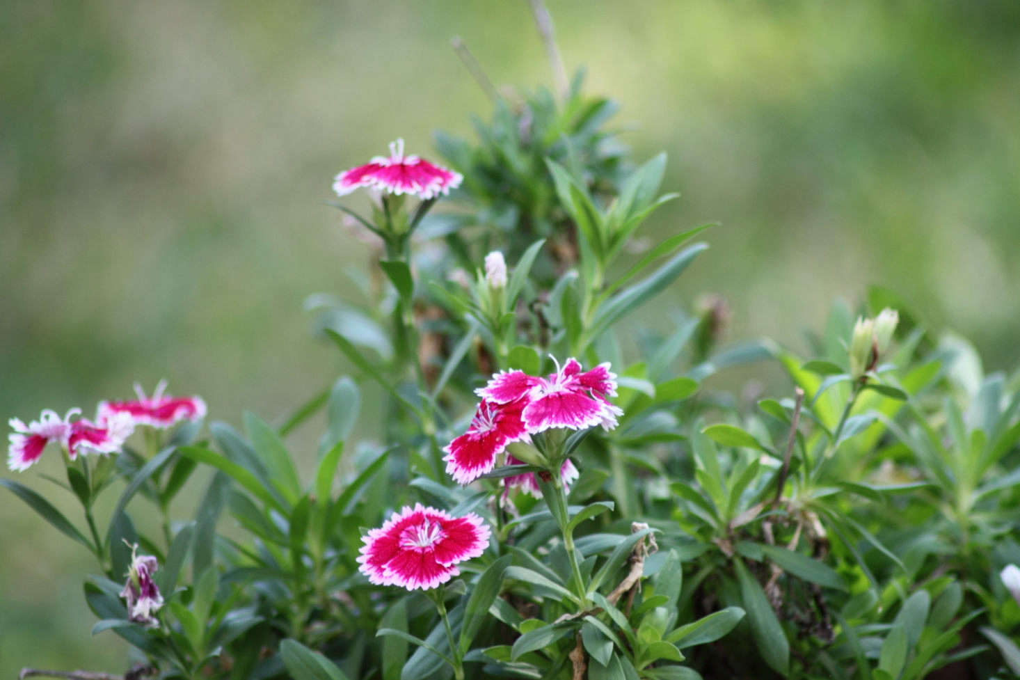 Dianthus chinensis, Photograph by A. Yee via Flickr.