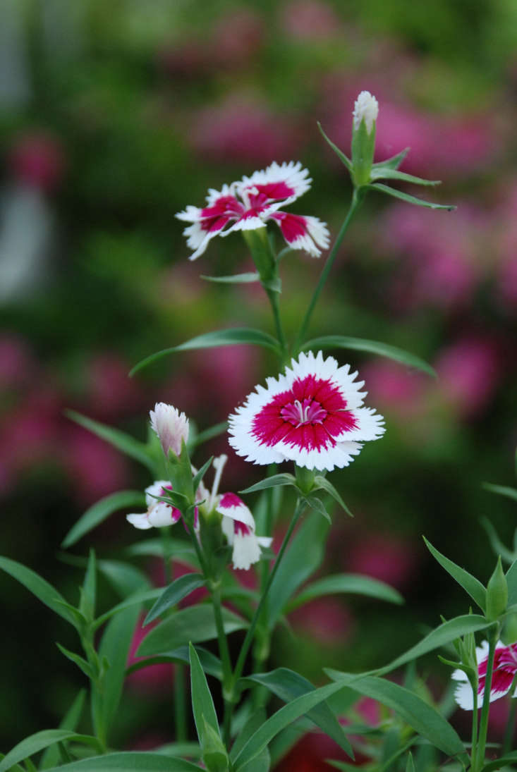 Dianthus chinensis. Photograph by Sarah Ivey Rock via Flickr.