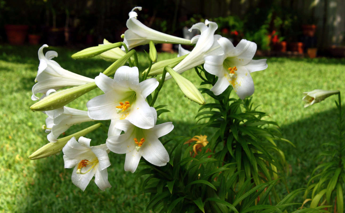 Lilium longiflorum is commonly known as the Easter lily. Photograph by A. Yee via Flickr.