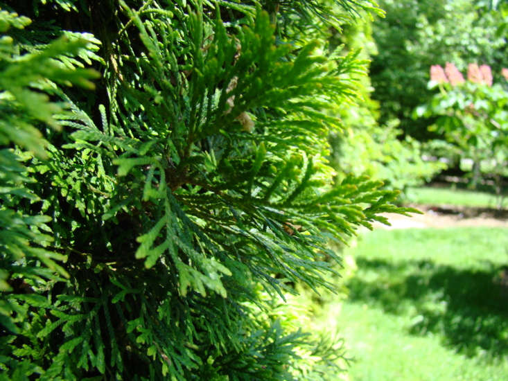 Also known as emerald green arborvitae, evergreenThuja &#8\2\16;Smaragd&#8\2\17; thrives in USDA growing zones 4 to 8. Photograph by Dan Keck via Flickr.