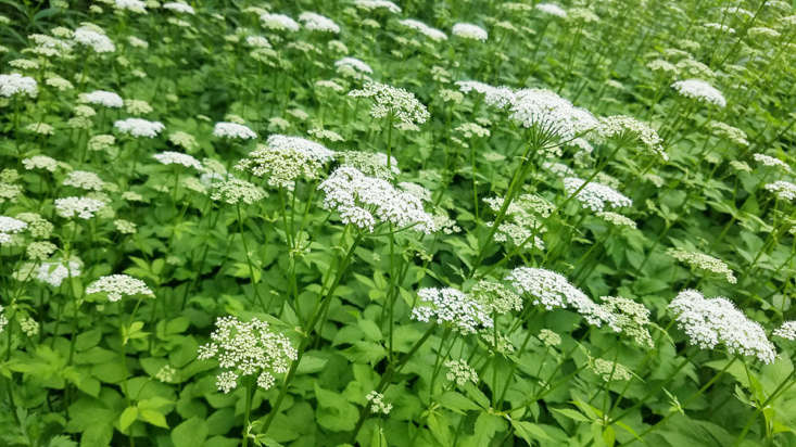 Its many common names (including bishop&#8\2\17;s weed and goutweed) are an indication of ground elder&#8\2\17;s usefulness to humans. The flowers are assertively flavored: lovage meets carrot tops and celery heart. Ground elder is highly invasive, so this is not a perennial to cultivate; there is plenty around to harvest.