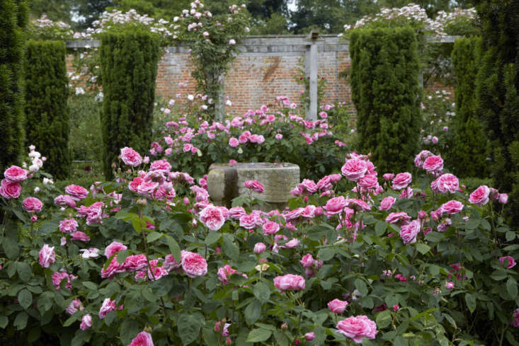 Roses in an enclosed garden featuring a grid of fastigiate yews, an old stone font at the axis.