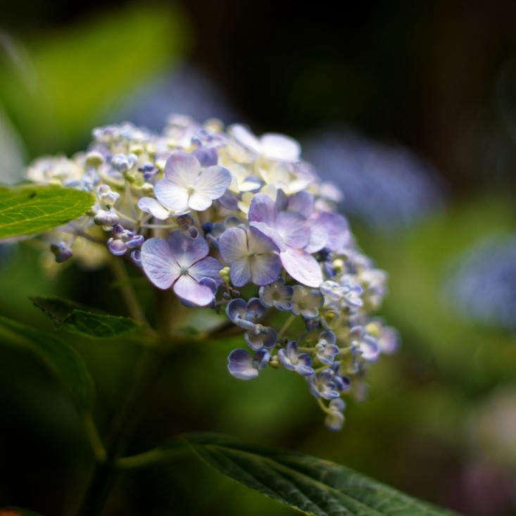 H. macrophylla &#8