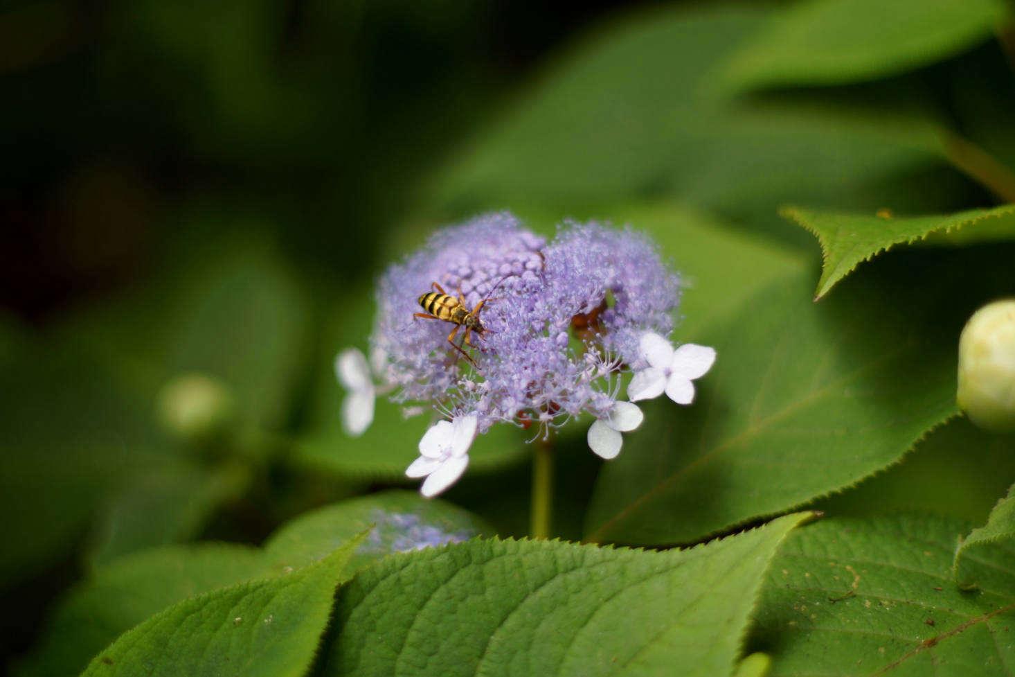 Hydrangea serrata &#8