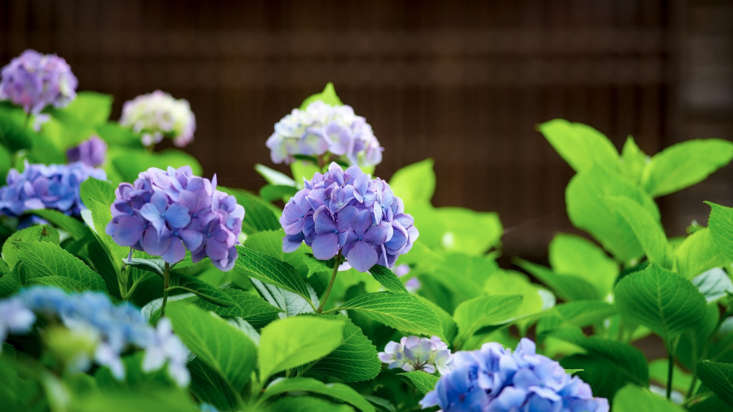 From purple to blue to pale lavender: all these colors can appear on a single hydrangea shrub.