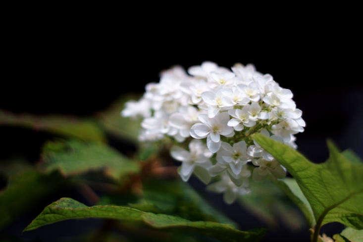 A white oakleaf hydrangea.