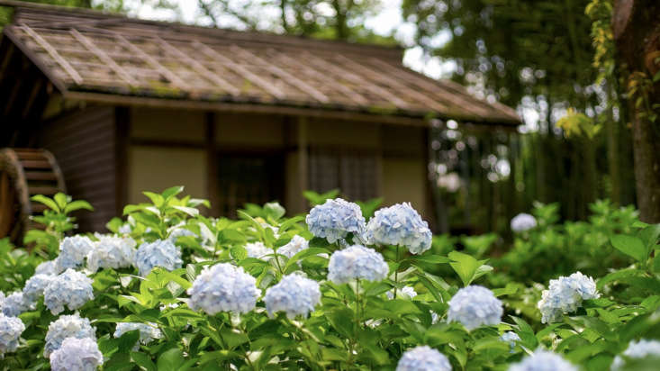 Native to Asia, hydrangeas are widely cultivated in Japan.