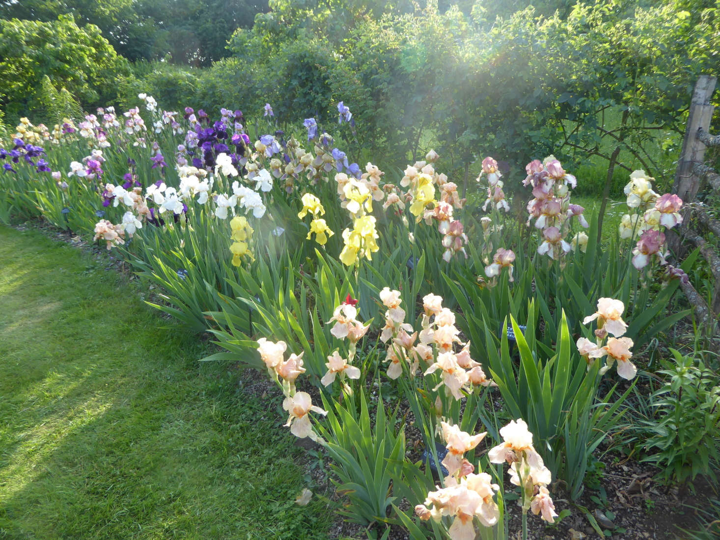 Some plants, like the bearded iris, need to be divided and transplanted to thrive. Photograph by Clare Coulson, from Everything You Need to Know About Bearded Iris.