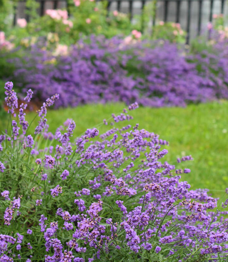 Best known as an aromatic and calming essential oil, lavender&#8\2\17;s fresh flowers add bold flavor to dishes ranging from home-cured duck prosciutto to infused syrup for ice creams. Add a teaspoonful of flowers with rosemary to a rub for your next grilled rack of lamb.