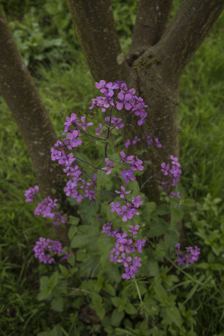 Self-seeded honesty (Lunaria) in the crook of a tree. Photograph by Jim Powell for Gardenista, from Gardening loading=