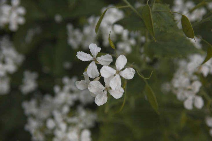 Lunaria annua var. albiflora.