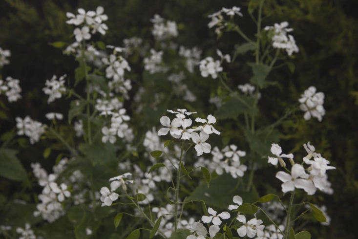 A bushy colony of Lunaria annua var. albiflora.