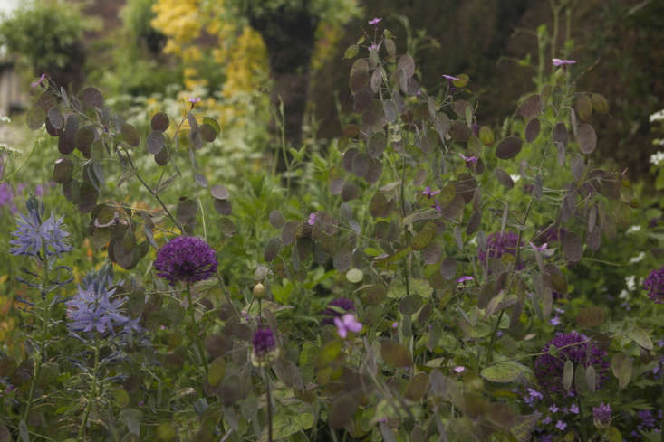 Fresh seed cases of lunaria provide a coppery foil to alliums and camassia at Great Dixter.