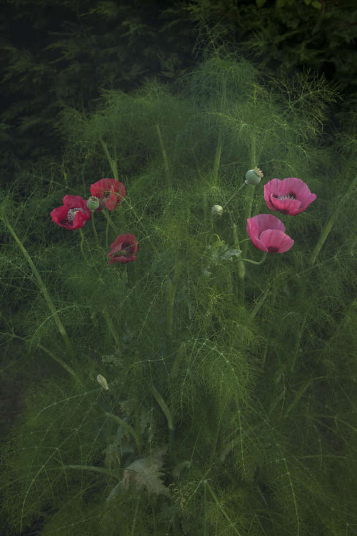 Texture in the garden, which is entirely self-seeded with fennel and poppy.