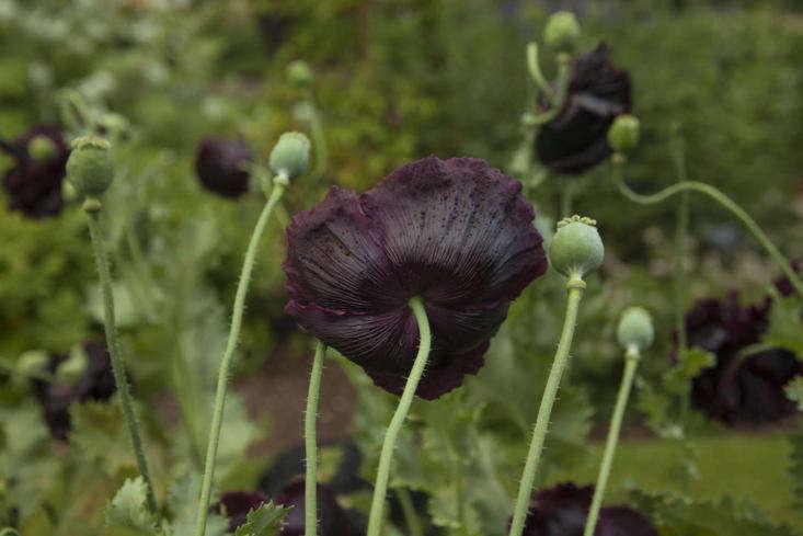 Single deep black opium poppies at Oxford Botanic Garden.