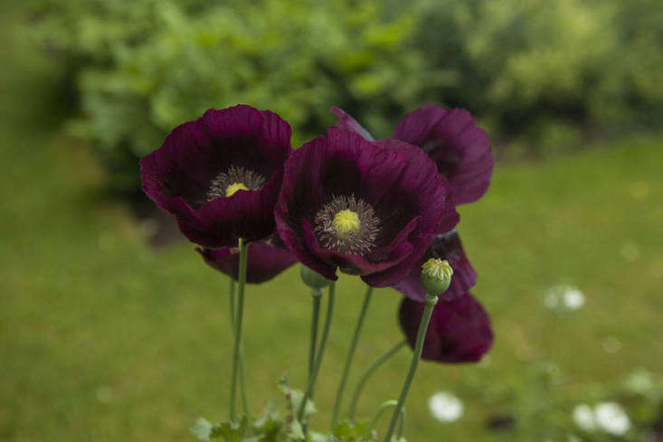 Deep plum-purple opium poppies at Oxford Botanic Garden. Photography by Jim Powell for Gardenista, from Gardening loading=