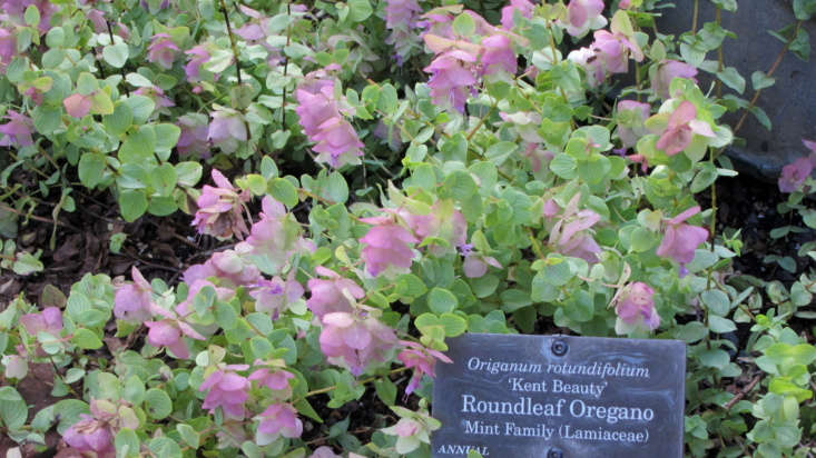 Ornamental oregano &#8